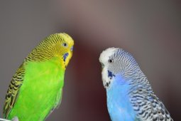 Budgies / Birds