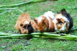 Guinea Pig: Deluxe Suite